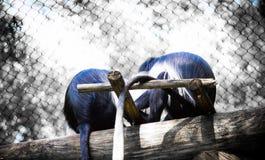 Affe ` s, das in Baumanmeldung Zoo hängt Lizenzfreie Stockfotografie
