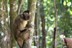 Affe Sapajus auf dem Baum, der die Nahrung des Mannes empfängt lizenzfreies stockbild