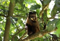 Affe Sapajus, das Apfel über Baum isst stockbild