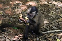 Affe Sapajus, das Apfel essend sitzt lizenzfreie stockfotos