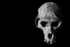 Affe-Schädel lokalisiert auf Schwarzem Stockbilder