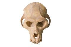 Affe-Schädel lokalisiert auf Weiß Stockfotos