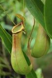 Affe Schalen oder Nepenthes Stockfotos