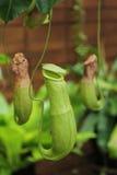 Affe Schalen oder Nepenthes Stockfotografie