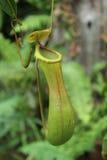 Affe Schalen oder Nepenthes Stockbild
