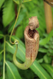 Affe Schalen oder Nepenthes Stockfoto