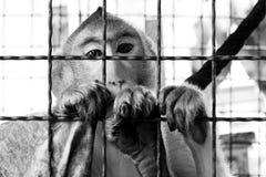 Affe schaut Stockbild