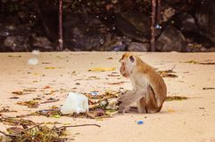 Affe schaut auf Plastikabfall auf dem Strand Stockfoto