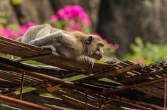 Affe schaut in einem Tempel Stockfoto
