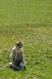 Affe schaut oben Stockfotos