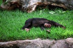 Affe-Schimpanse auf dem Gras Stockfotos