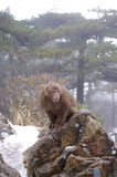 Affe in schneiendem Berg Huangshan Lizenzfreie Stockfotos
