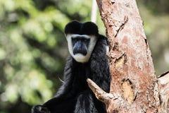 Affe-Schwarzweiss-Sitzen in einem Baum Stockbilder