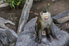 Affe (Schwein-angebundener Makaken) Stockfotos