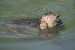 Affe schwimmt im Pool Lizenzfreie Stockbilder