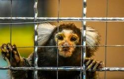 Affe-Seidenäffchenkopfweiß im Käfig Stockbilder