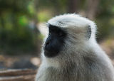 Affe Semnopithecus (Gray Langur) Lizenzfreies Stockfoto