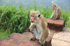 Affe in Sir Lanka Stockbilder