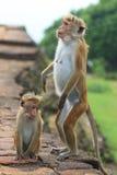 Affe in Sir Lanka Stockfotos