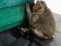 Affe sitzen auf dem Boden Stockfoto