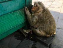Affe sitzen auf dem Boden Stockbild
