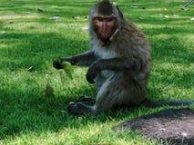 Affe sitzen auf dem Boden Stockfotografie