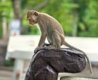 Affe sitzen auf einem Stein Stockfotografie