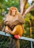 Affe sitzen auf einem Zaun Lizenzfreies Stockfoto