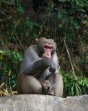 Affe sitzen auf Felsen an Nationalpark Zhangjiajie, China Lizenzfreie Stockbilder