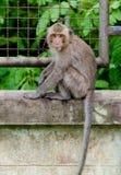 Affe sitzen an der Betonmauer Stockfotos