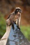 Affe sitzen die Entspannung (Presbytis-obscura Reid). Stockbilder