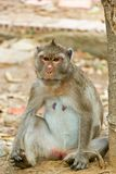 Affe sitzen und anstarrend entlang der Kamera Lizenzfreie Stockbilder