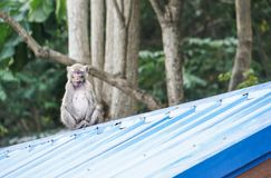 Affe sitzen und schlafen auf dem Dach Lizenzfreies Stockfoto