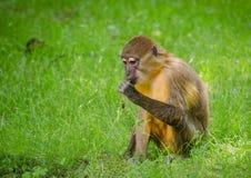 Affe - sitzend und essend Stockbild