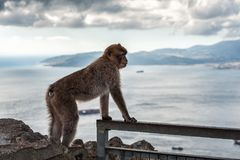Affe sitzt auf Balkon und betrachtet Bucht von Gibraltar Stockfoto