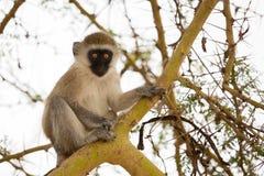 Affe sitzt auf dem Baum Lizenzfreies Stockbild