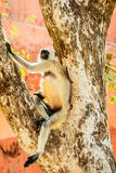 Affe sitzt auf dem Baum in Jaipur Lizenzfreie Stockbilder