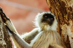 Affe sitzt auf dem Baum in Jaipur Stockfoto