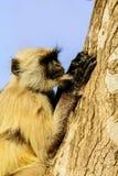 Affe sitzt auf dem Baum in Jaipur Lizenzfreie Stockfotografie