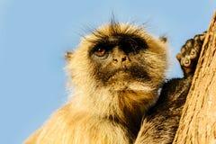 Affe sitzt auf dem Baum in Jaipur Stockbild