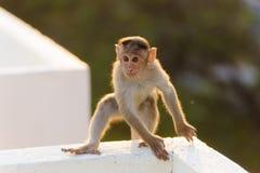 Affe sitzt auf dem Dach in der lustigen Haltung Stockfotografie