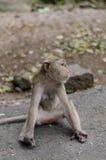 Affe sitzt auf dem Felsen Lizenzfreies Stockfoto