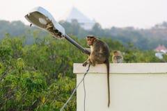 Affe sitzt auf dem Stadtgebäudedach Stockfoto