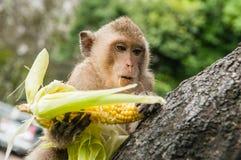 Affe sitzt auf dem Stein und isst Lizenzfreie Stockfotografie