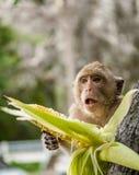 Affe sitzt auf dem Stein und isst Stockbild