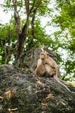 Affe sitzt auf dem Stein und isst Stockfotografie