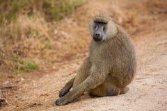 Affe sitzt auf der Straße, Pavian, auf Safari Stockfotos