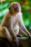 Affe sitzt auf einem Baum und schaut oben Stockfotos