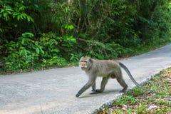 Affe sitzt auf einer concreted Straße durch den thailändischen Dschungel nave Stockfoto