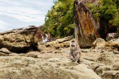 Affe sitzt auf Felsen auf der Insel von Borneo Stockfotos